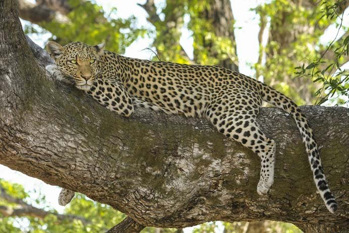 leopard afrique big five