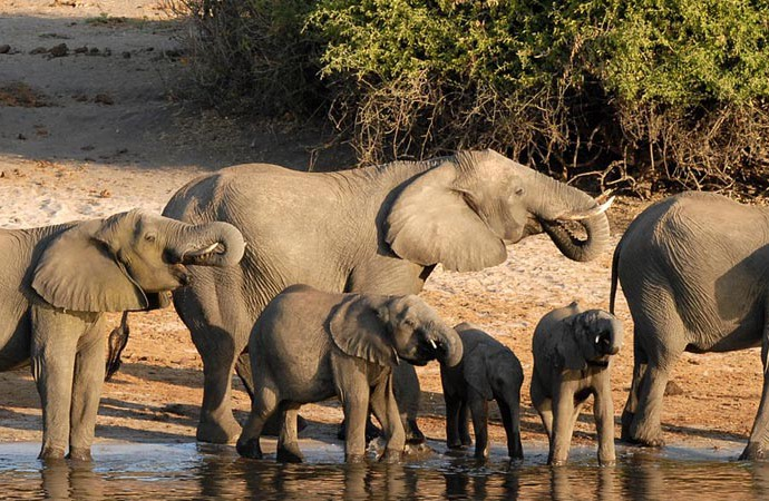 Eléphants à Chobe National Park